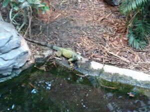 Iguane au parc zoologique de Paris