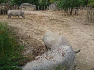 rhinocéros blanc parc zoologique de Paris
