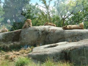 Lions au parc zoologique de Paris