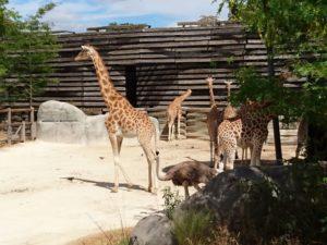 Girafe parc zoologique de Paris