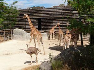 girafe et autruche au parc zoologique de Paris