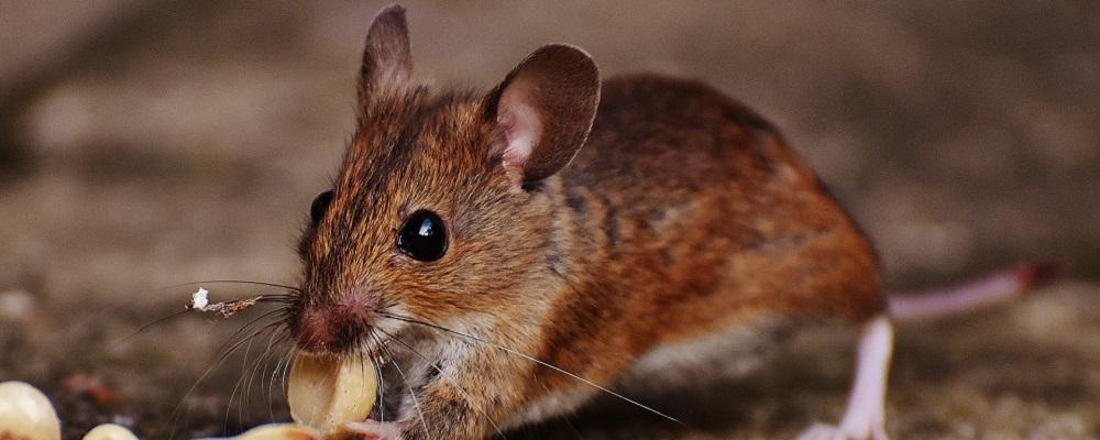 petite souris